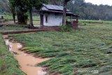 Banjir bandang terjang puluhan hektare sawah siap panen di Lubuklinggau
