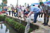 Ikan papuyu kian langka di Padang, Wagub tebar 5000 bibit