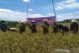 Hasil panen melimpah, petani di Kobar gelar 'Sedekah Bumi'