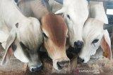 Banjarmasin datangkan sapi dari Jawa hingga NTT