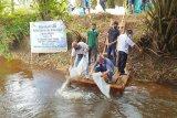 PT Sukajadi Sawit Mekar 'restocking' ikan lokal dukung konservasi dan ketahanan pangan