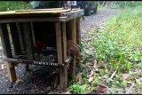 Kukang jantan dan elang brontok dilepasliarkan ke Taman Wisata Alam Bukit Kaba