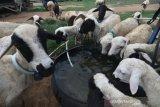 Sejumlah domba ekor gemuk minum air usai digembala