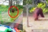 Orangutan berkeliaran di pinggir jalan dan rusak kebun warga