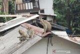 Warga resah, kawanan monyet liar masuk ke permukiman padat penduduk