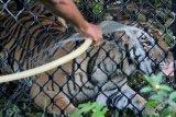 Begini Proses Pelepasliaran Harimau Sumatera