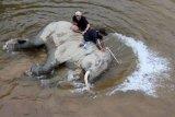 Pawang gajah (mahout) Balai Konservasi Sumber Daya Alam (BKSDA) Aceh memandikan gajah jinak di kawasan Conservation Response Unit (CRU) Desa Naca, Trumon Tengah, Aceh Selatan, Aceh, Jumat (19/6/2020). BKSDA Aceh memiliki 32 ekor gajah jinak yang ditempatkan di Pusat Latihan Gajah (PLG) dan CRU untuk menangani konflik satwa serta untuk melakukan penggiringan gajah liar yang memasuki permukiman penduduk. ANTARA FOTO/Syifa Yulinnas/wsj.