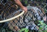 Harimau Sumatra liar berada di dalam kerangkeng di kawasan Conservation Respon Unit (CRU) Desa Naca, Trumon Tengah, Aceh Selatan, Aceh, Jumat (19/6/2020). Tim dokter BKSDA Aceh terus melakukan proses observasi untuk memastikan kesehatan harimau sumatra sebelum proses pelepasliaran kembali kehabitatnya. ANTARA FOTO/Syifa Yulinnas/pras.