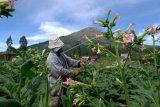 Merawat tanaman tembakau