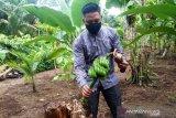 Fenomena unik di Agam, batang pisang bekas ditebang berbuah (Video)