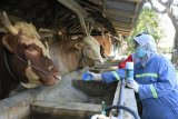 UGM susun rekomendasi penyembelihan hewan kurban  masa pendemi
