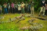 Enam ekor buaya muara dilepasliarkan di TN Way Kambas