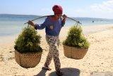 Harga rumput laut di Kupang anjlok hingga Rp20 ribu perkilogram