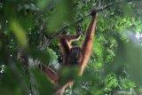 Orangutan Sumatera di Kawasan Ekosistem Leuser