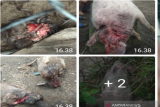 Misteri sosok makhluk aneh penghisap darah ternak di Taput, warga dihantui ketakutan