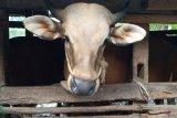 NTB kapalkan 6.500 ekor sapi ke Jabodetabek untuk Idul Adha