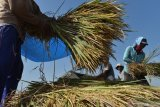 Pekerja memanen padi di Kajang, Sawahan, Kabupaten Madiun, Jawa Timur, Senin (22/6/2020). Berdasarkan data di Badan Ketahanan Pangan Kementerian Pertanian, dari rencana pengadaan pangan pada 2020 sebanyak 1,4 juta ton setara beras terealisasi 607.795 ton setara beras pada 20 Juni 2020 atau 43,41 persen dari target. Antara Jatim/Siswowidodo/zk.