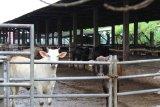 Lampung siapkan 26.016 ekor sapi siap potong