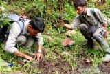 Digembala di hutan penggunaan lain, dua kerbau milik warga Agam diterkam Harimau Sumatera