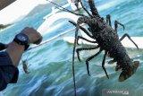 Dinas Kelautan dan Perikanan NTB melepas liar lobster hasil budi daya