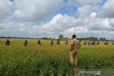 Diserang hama, 12,5 hektare sawah di Kendari gagal panen