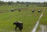 Lokasi cetak sawah baru di Kalteng telah diteliti  Kementerian LHK