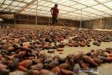 Dinas Perkebunan Kolaka tunda pembelian mesin pengolah kakao
