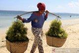 Bupati Sumba Timur pastikan hasil rumput laut warga tetap dipasarkan