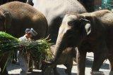 Perawat hewan berpelindung wajah (face shield) memberi makan gajah di Jatim Park 2 yang kembali dibuka setelah tiga bulan tutup akibat pandemi COVID-19 di Batu, Jawa Timur, Sabtu (27/6/2020). Selain memberlakukan protokol kesehatan yang ketat bagi karyawan dan pengunjung, pihak pengelola tempat wisata tersebut juga menerapkan pemesanan tiket daring guna membatasi jumlah pengunjung dari 6.000 orang menjadi 3.000 orang per hari. Antara Jatim/Ari Bowo Sucipto/zk.