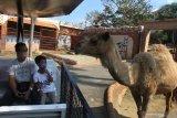 Wisatawan menaiki wahana kereta safari di Jatim Park 2 yang kembali dibuka setelah tiga bulan tutup akibat pandemi COVID-19 di Batu, Jawa Timur, Sabtu (27/6/2020). Selain memberlakukan protokol kesehatan yang ketat bagi karyawan dan pengunjung, pihak pengelola tempat wisata tersebut juga menerapkan pemesanan tiket daring guna membatasi jumlah pengunjung dari 6.000 orang menjadi 3.000 orang per hari. Antara Jatim/Ari Bowo Sucipto/zk.
