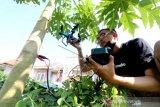 Drone berdaya asam pohon pepaya