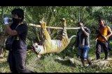 Petugas menggotong bangkai harimau Sumatera (Panthera tigris sumatrae) yang ditemukan mati di kawasan perkebunan masyarakat di Kecamatan Trumon, Kabupaten Aceh Selatan, Aceh, Senin (29/6/2020). Harimau Sumatera tersebut diduga mati akibat diracun. ANTARA FOTO/Hafizdhah/nym.