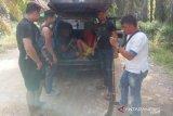 Pencuri ternak di Solok Selatan ditangkap saat mengambil BLT