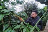 Lahan kopi seluas 30 hektare di Kulon Progo panen raya