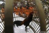 Sejumlah tersangka berserta barang bukti ayam aduan mengikuti rilis ungkap kasus bulanan di Polresta Kediri, Jawa Timur, Selasa (30/6/2020). Sejumlah kasus pidana berhasil diungkap kepolisian daerah setempat sepanjang bulan Juni dengan kasus yang menonjol berupa judi sabung ayam di tiga lokasi yang berbeda. Antara Jatim/Prasetia Fauzani/zk.