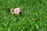 BAYI SINGA PUTIH TAMAN SAFARI PRIGEN. Bayi Singa Putih (Panthera leo) yang berjenis kelamin betina dan bernama Gisel bermain di halaman Taman Safari Prigen, Pasuruan, Jawa Timur, Kamis (4/6/2020). Gisel yang lahir normal pada 8 April 2020 dengan berat 1,5 Kg tersebut lahir dari indukan betina bernama Ghost dan pejantan bernama Kaka, sehingga kelahiran ini menambah koleksi Singa Putih di taman itu menjadi enam ekor . Antara Jatim/Zabur Karuru/zk