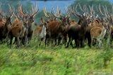 DAMPAK PANDEMI DI TAMAN NASIONAL BALURAN. Rusa timor (cervus timorensis) berada di savana bekol Taman Nasional Baluran, Situbondo, Jawa Timur, Jumat (5/6/2020). Ditutupnya pariwisata di TN Baluran pada masa Pandemi COVID-19, berdampak pada perilaku satwa yang biasanya beraktivitas di dalam hutan saat ini mudah dijumpai di padang savana karena tidak adanya wisatawan. Antara Jatim/Budi Candra Setya/zk