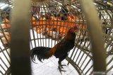 JUDI SABUNG AYAM. Sejumlah tersangka berserta barang bukti ayam aduan mengikuti rilis ungkap kasus bulanan di Polresta Kediri, Jawa Timur, Selasa (30/6/2020). Sejumlah kasus pidana berhasil diungkap kepolisian daerah setempat sepanjang bulan Juni dengan kasus yang menonjol berupa judi sabung ayam di tiga lokasi yang berbeda. Antara Jatim/Prasetia Fauzani/zk
