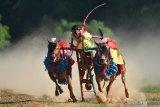 LATIHAN KERAPAN SAPI. Joki memacu sapi kerapan  di Desa Mortajih, Pamekasan, Jawa Timur, Jumat (12/6/2020). Kendati ditengah Pandemi COVID-19,  pemilik sapi kerapan di Madura tetap melatih sapi kerapannya dengan tetap mematuhi protokol kesehatan dengan pembatasan jumlah peserta. Antara Jatim/Saiful Bahri/zk