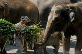 WISATA JATIM PARK DIBUKA DENGAN PROTOKOL KESEHATAN. Perawat hewan berpelindung wajah (face shield) memberi makan gajah di Jatim Park 2 yang kembali dibuka setelah tiga bulan tutup akibat pandemi COVID-19 di Batu, Jawa Timur, Sabtu (27/6/2020). Selain memberlakukan protokol kesehatan yang ketat bagi karyawan dan pengunjung, pihak pengelola tempat wisata tersebut juga menerapkan pemesanan tiket daring guna membatasi jumlah pengunjung dari 6.000 orang menjadi 3.000 orang per hari. Antara Jatim/Ari Bowo Sucipto/zk
