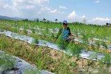 Permintaan tinggi, petani Temanggung kembangkan asparagus