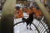 Sejumlah tersangka berserta barang bukti ayam aduan mengikuti rilis ungkap kasus bulanan di Polresta Kediri, Jawa Timur, Selasa (30/6/2020). Sejumlah kasus pidana berhasil diungkap kepolisian daerah setempat sepanjang bulan Juni dengan kasus yang menonjol berupa judi sabung ayam di tiga lokasi yang berbeda. ANTARA FOTO/Prasetia Fauzan/foc.