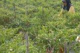 Binaan Arara Abadi,  petani cabai Kuala Penaso sukses panen raya
