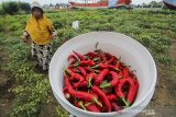 Petani memanen cabai merah di kebun miliknya di Pabean udik, Indramayu, Jawa Barat, Kamis (2/7/2020). Petani setempat tetap memanen cabai meski harga anjlok hingga Rp10 ribu per kilogram dari harga sebelumnya sebesar Rp25 ribu per kilogram akibat melimpahnya pasokan. ANTARA JABAR/Dedhez Anggara/agr