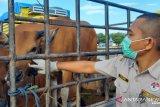 Karantina Pertanian Kendari tingkatkan kesiagaan lalulintas hewan kurban