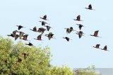 Sekawanan burung Ibis Rokoroko (Plegadis Falcinellus) terbang di atas kawasan ekowisata mangrove Karangsong, Indramayu, Jawa Barat, Jumat (3/7/2020). Pakar Pelestarian Alam dan Pembinaan Margasatwa Institut Pertanian Bogor (IPB) menyatakan pengembangan ekowisata berperan penting dalam upaya pelestarian dan konservasi burung air sekaligus memberikan edukasi terhadap masyarakat tentang pelestarian satwa. ANTARA JABAR/Dedhez Anggara/agr