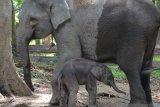 Seekor gajah sumatera lahir di TWA Buluh Cina Riau