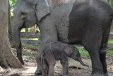 Damar,  nama bayi gajah di Taman Hutan Wisata Buluh  Cina