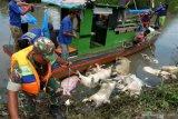 Ratusan ternak babi mati mendadak di Kota Palembang, diduga terserang demam afrika