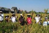 Pusri dorong produktivitas padi di lahan demplot Kabupaten Karanganyar